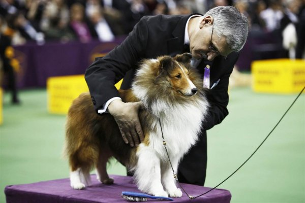 Выставка собак Westminster Kennel Club Dog Show в Нью-Йорке (11 фото)