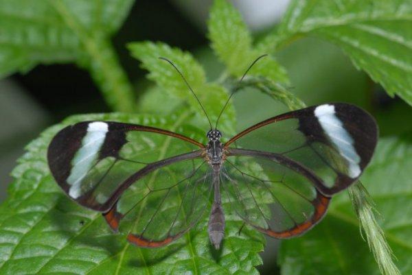 Грета Ото: бабочка с прозрачными крыльями (6 фото)