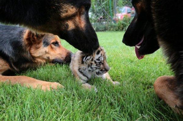 Маленькую тигрицу, от которой отказалась мать, воспитывают три овчарки (15 фото)